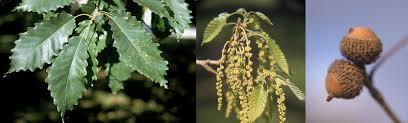 Trees Of Ohio Oak Varieties