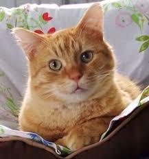620 idées de CHAT ROUX : )   chat, chat roux, chats et chatons