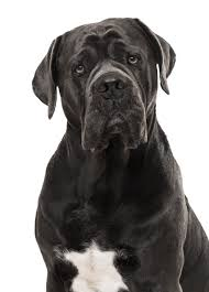 Cane Corso Weight Chart Pounds Cane Corso Dog Breed Information Complete Guide