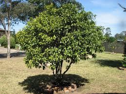 Citrus Tree Planting Directions  How To Grow A Citrus Tree Kumquat Tree Not Bearing Fruit