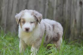 baby australian shepherd. Beautiful Shepherd Birchenoughs Babies  Intended Baby Australian Shepherd T