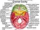 Images & Illustrations of cranial cavity