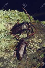 Pine Borer A Pair Of Pine Borer Beetles On A Mossy Log Stock Photo Picture And