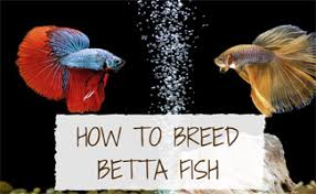 Betta Fish Chart How To Breed Betta Fish Guide Earths Friends