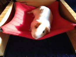 diy guinea pig toys new 279 best guinea pigs images on of diy guinea pig