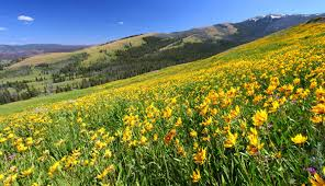 spring wildflowers in yellowstone