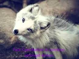white wolf pup with blue eyes. Interesting White White Wolves With Blue Eyes A Story Of The Heart Break Hundreds Part 1 On Wolf Pup N
