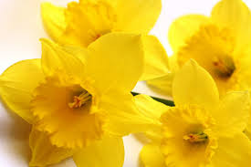 march s flower of the month daffodils