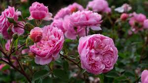 how to plant roses country