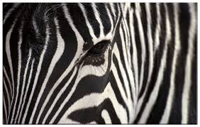 wall art ideas design est zebra canvas wall art front stretched framed amazing black and white combination contemporary amazing decoration