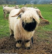 farmer sally strathdee is on a mission to bring the valais blacknose sheep to the world