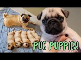 Pug Puppies Pug Puppy Compilation Pets4homes Pug Puppy Compilation Youtube
