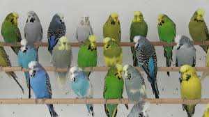 How Yellow And Green Makes Blue Budgies Scimex