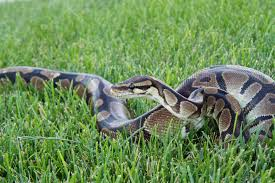 How Big Do Ball Pythons Get And How Long Does It Take For