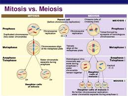 Mitosis Versus Meiosis Chart Mitosis Vs Meiosis Diagram Diagram Quizlet