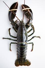 Live Atlantic Lobster