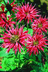 Images & Illustrations of bee balm