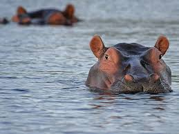 East Africa's Mara River Relies on Hippo Poop to Transport a Key ...