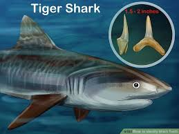 Tiger Shark Classification Chart How To Identify Shark Teeth 15 Steps With Pictures Wikihow