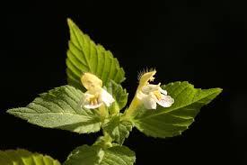 Galeopsis dubia Leers