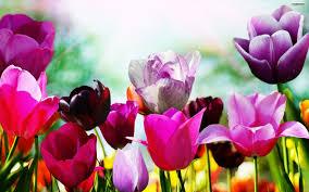spring tulip desktop wallpaper. Modren Desktop SPRING TULIPS On Spring Tulip Desktop Wallpaper