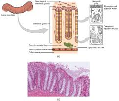The small intestine is made up of three segments, which form a passage from your stomach (the opening between your stomach and small intestine is called the pylorus) to your large intestine: Digestive System Module 5 The Small And Large Intestines Digestive System Openstax Cnx