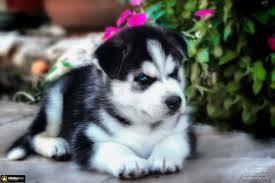 האסקי סיביר למכירה בשפיה , 3000 שח, מודעה 70960 | כלבים - לוח חיות מחמד |  הומלס