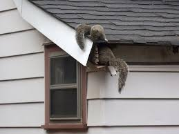 squirrel in ceiling. Fine Squirrel How To Get Squirrels Out Of The Attic In Squirrel Ceiling