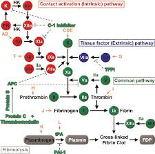 Schematic Diagram Of The Coagulation Cascade And Possible