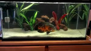 Setting Up Oscar Fish Tanks And Aquarium