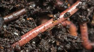 within a week a microflush toilet s legion of red wiggler worms turns solid waste into fully composted topsoil photo john mccoy