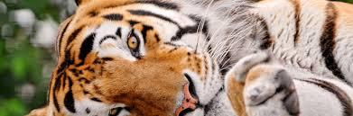 tiger wallpaper desktop. Simple Desktop 35 Ferocious Tiger Wallpaper For Your Desktop Intended 0