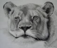lioness face drawing. Interesting Lioness The Lionessu0027 Face Is Finished In Lioness Face Drawing