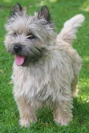 cairn terrier. Wonderful Terrier Cairn Terrier Dog Breed On A