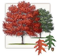 Oak Tree Growth Rate Chart Shumard Red Oak Tree Dallas Fannin Tree Farm Frisco Tx