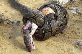 king cobra snake eating. Perfect Snake On King Cobra Snake Eating