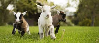Image result for three goats