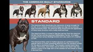 Pitbull Dog Years Chart Abkc Classes Determine What Class Your Bully Belongs In