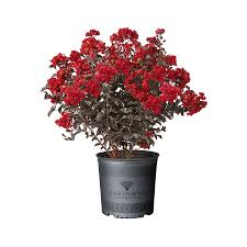 2.3-Gallon Multicolor Black Diamond Crape Myrtle Feature Tree in Pot in the  Trees department at Lowes.com