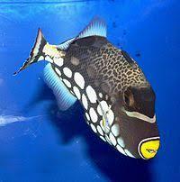 clown triggerfish. Unique Triggerfish A Clown Triggerfish In San Francisco With Clown Triggerfish H