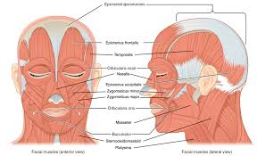 The Muscles Of The Head And Neck Human Anatomy And