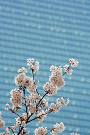 Cherry Blossom Backdrop Cherry Blossom With Building Backdrop