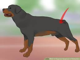 Rottweiler Size And Weight Chart What Should Be Proper Rottweiler Weight And Hight