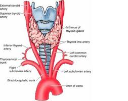 Thyroid Anatomy Anatomy Emad Albadawi