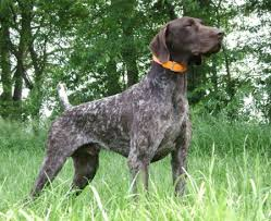 maryland german shorthaired pointer