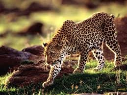 excellent cheetah images cheetah backgrounds