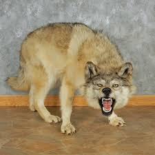 grey wolf size gray wolf taxidermy mount 13019 the taxidermy store