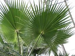 fan palm trees. mexican fan palm tree | backyard escapes pinterest palm, and gardens trees f
