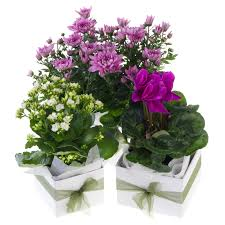 small flowering house plant