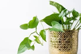 Ecco un elenco delle piante da appartamento alte più usate nelle case degli italiani e non. 10 Piante Da Appartamento Che Richiedono Poca Luce E Poche Cure